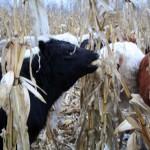 cattle grazing winter corn
