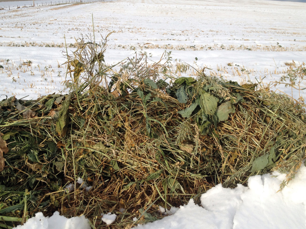 A brassica-cereal swath.