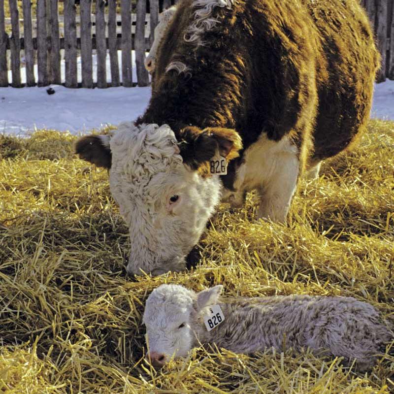 A bull and calf.