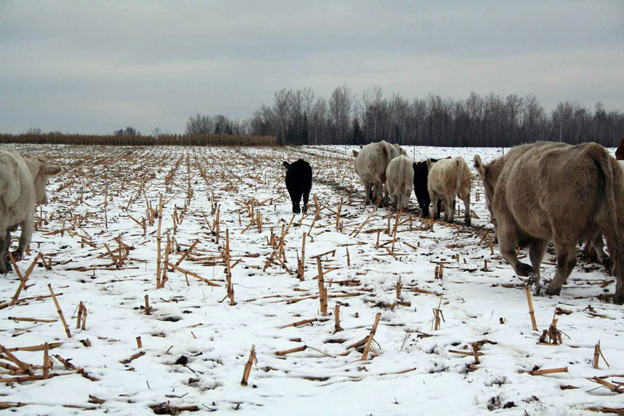 Cows grazing winter corn stalks