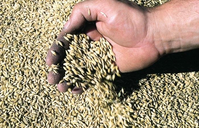 barley grains flowing through a man's fingers