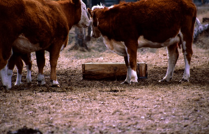 cows at a mineral feeding trough