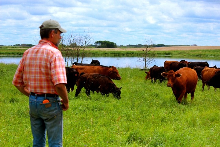 man in a pasture with cattle