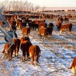 cows grazing ryegrass in winter