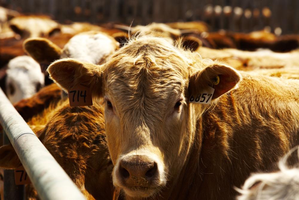 cow in a feedlot