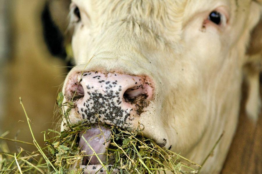 cow eating alfalfa forage