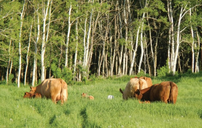 cattle grazing in green grass