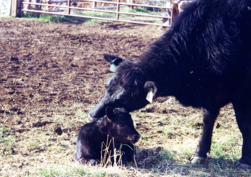 Calving season: the tipping point for success in beef operations