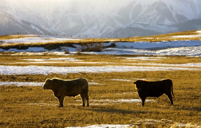 cattle on a pasture with mountains