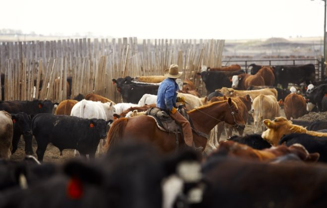 cattle and rancher in feedlot
