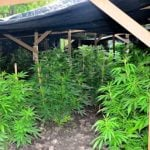 "An unauthorized outdoor cannabis ""grow"" operation found by RCMP northwest of Winnipeg in August 2013. (Photo courtesy Manitoba RCMP)"