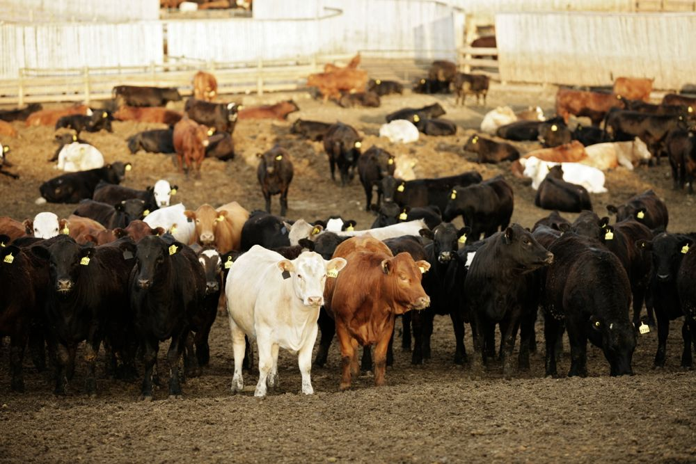 cattle in a feedlot