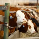 Feed grain prices weigh on feeder cattle market