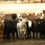 Fed cattle prices see a boost