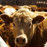 Feeder cattle outlook lower in 2019