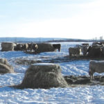 Bale grazing trial looks at feed waste