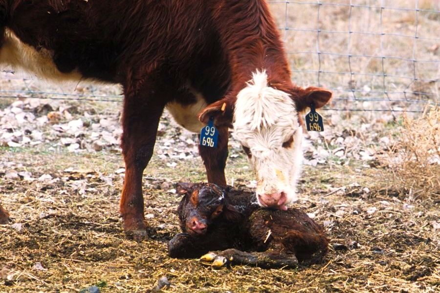 Most cases of scours in calves occur at three days or older, meaning they are most likely viral in origin so electrolytes will do more good than antibiotics.