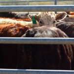 U.S. cattle prices expected to fall slightly