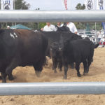 A group of cow-calf pairs at the pen show during the World Angus Secretariat.