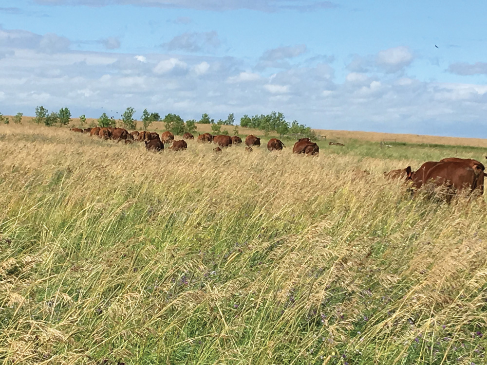 A pasture after three years of intensive grazing management, with higher stock density and longer rest periods.