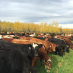 Kenyon: How intensely should you graze cattle?