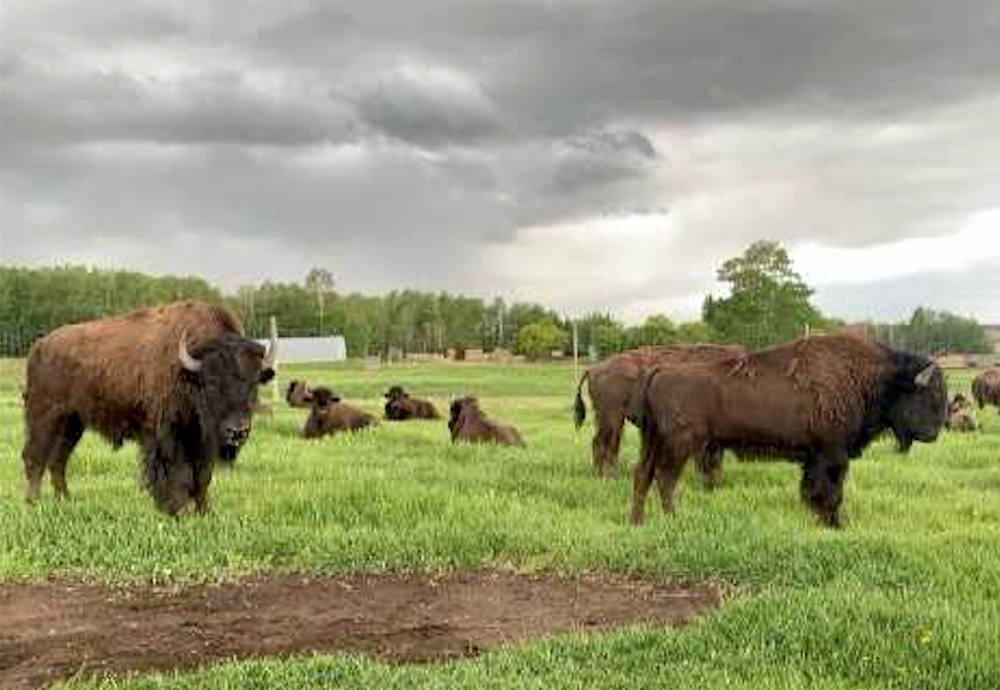Bison on pasture near Pigeon Lake, Alberta.