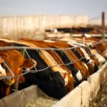 Kay: Cattle futures crush the present