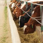 Fed cattle market wrestles with low prices