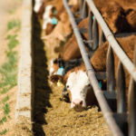 Verified Beef Production Plus receives funding to support program advancement