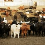 Fed cattle prices seen higher on sustained demand