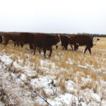 Strategies for wintering your cattle herd