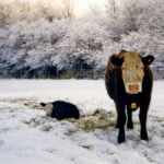 Shifting from winter to spring calving has improved health and survival.
