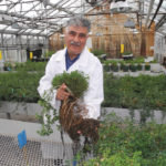 Agriculture and Agri-Food Canada plant breeder Dr. Yousef Papadopoulos holding a sample of AAC Trueman alfalfa to show its branching root and unique rhizomatous growth habit systems.