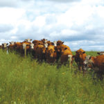 Managing resistance to internal parasites in cattle