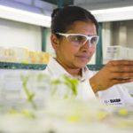 A BASF scientist examines transgenic corn plants. (BASF.com)