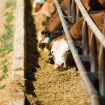 How well do you mix your cattle feed?