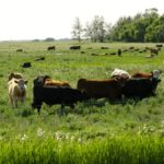 Participants wanted for internal parasite study of pastured yearling cattle