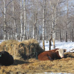 A large portion of feed placed in round bale feeders may be wasted.