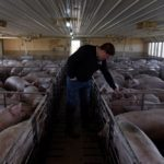 Hog farmer Mike Patterson walks through one of his barns at Kenyon, Minnesota, about 70 km south of St. Paul, on April 23, 2020. (Photo: Reuters/Nicholas Pfosi)