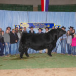 Canadian-bred Simmental bull wins big in U.S.