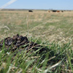 Dung beetles may be small but they play a big role on pastures