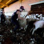 Uruguayan sheep shearer Federico Ventura catches a sheep to shear it in Villafale, Spain on June 17, 2020. (Photo: Reuters/Juan Medina)