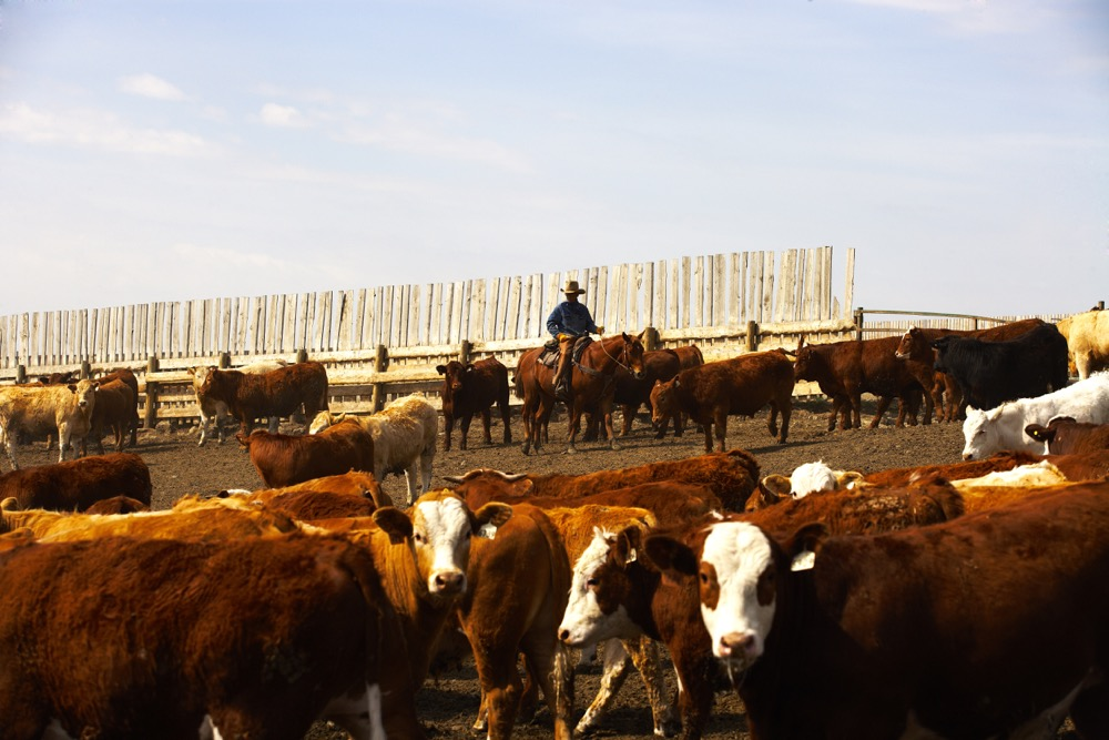 Beef plants cannot operate efficiently without a steady supply of cattle from ranch to feedlot to plants.