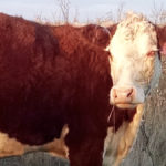 Pinkeye in cattle can be costly
