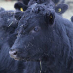 Nutrition 101 for replacement heifers