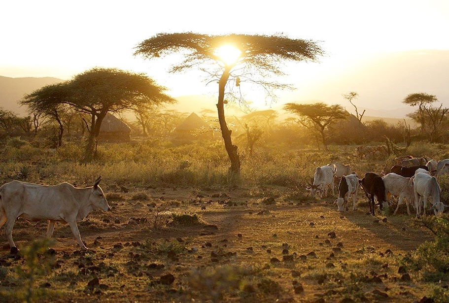 At dawn, Ethiopian Boran cattle leave the village in search of grazing.