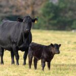 The evolution of the Beef Cattle Research Council