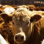 McMillin: Cattle-on-feed numbers above year-ago levels