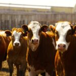 Choosing the right implant for feedlot cattle