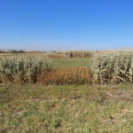 Forage intercropping trials show promise in Western Canada
